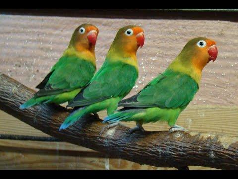 Пение попугайчиков-неразлучников