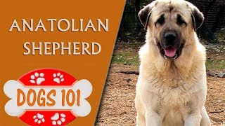 Dogs 101  ANATOLIAN SHEPHERD  Top Dog Facts About the ANATOLIAN SHEPHERD