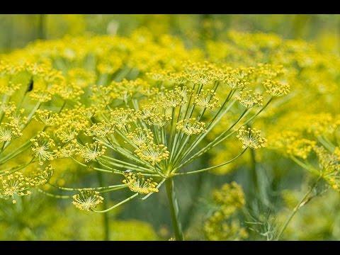 Фенхель – выращивание, полезные свойства и применение