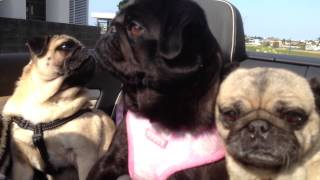 Pugs Enjoying The High Life