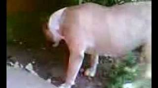 Spudder The Bull Terrier Trancing thumbnail