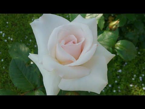 Плетистые розы Казино (Ирландия 1963 год)Супер Эксцельза( Хетцель 1986 год) Swan Lake Ирландия 1968.