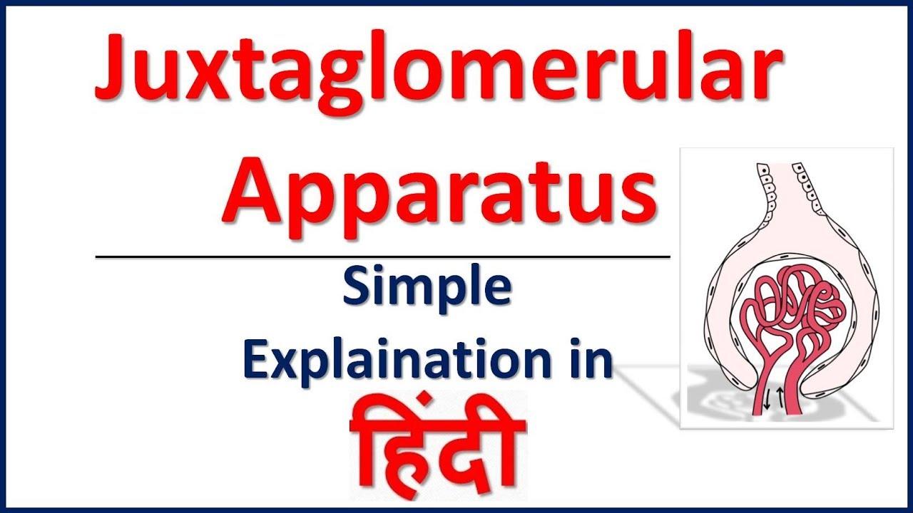 Juxtaglomerular Apparatus