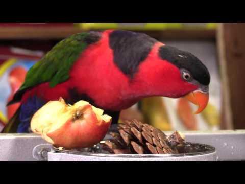 Lorius lory parrot at HappyBirds.Ru: petted, talks Russian, eats apple. HQ, FullHD