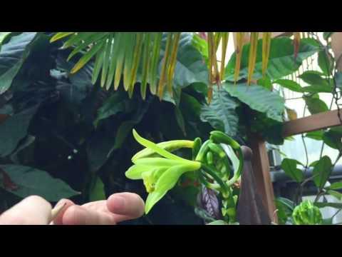 Vanilla Pollination