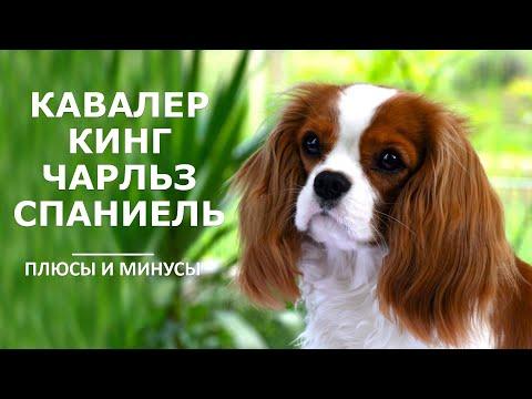 КАВАЛЕР КИНГ ЧАРЛЬЗ СПАНИЕЛЬ. Плюсы и минусы породы