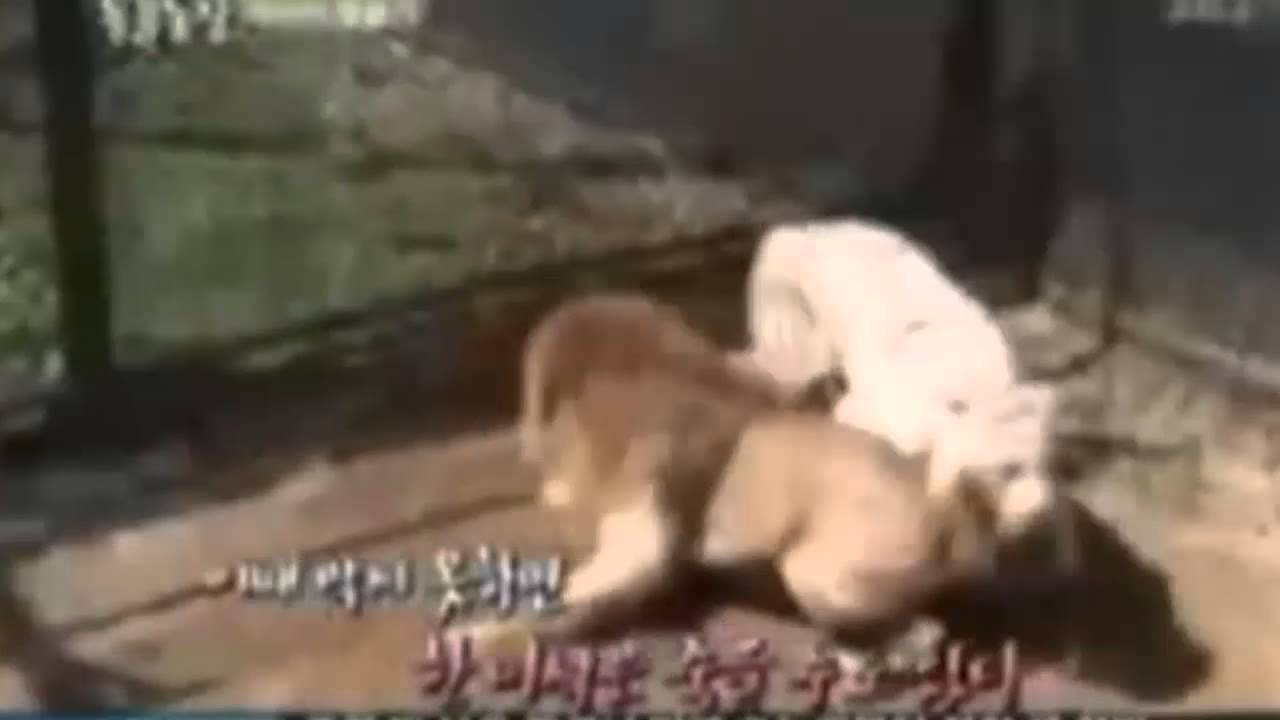 Fierce Animal Battles | Tiger Attacking a Lion | Tiger Wins