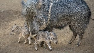 iCare: Saving the Chacoan Peccary