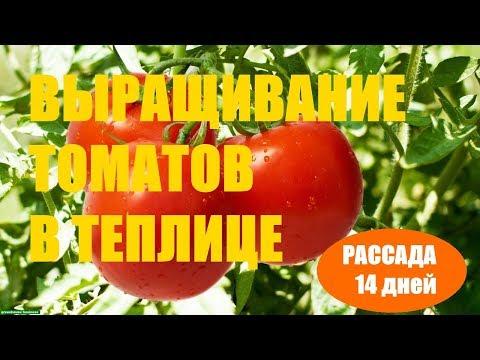 Выращивание томатов (Рассада 14 дней)