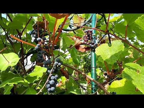 Амурский виноград. Красивая быстрорастущая лиана для Подмосковья.