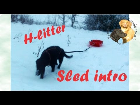 Curly coated retriever puppies 1st time pulling sled