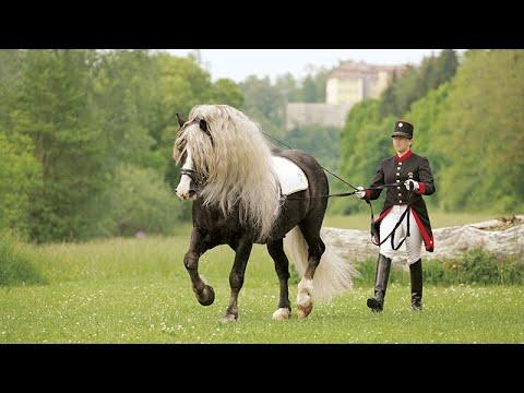 cheval de trait foret noire