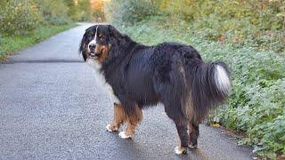 Bernese Mountain Dog  The Sennenhund Type Dog