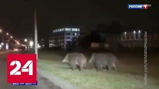 Набеги кабанов и лосей на Москву сняли на видео - Россия 24