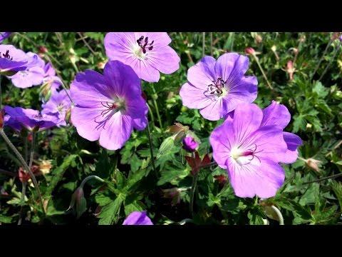 Best Garden Perennials Geranium Rozanne Cranesbill