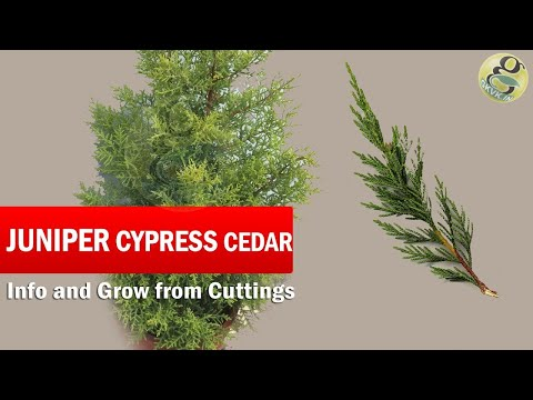Juniper Cypress or Cedar Tree Care and How to grow from Cuttings | Golden Cypress in English