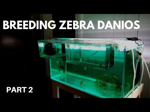 How To Breed Zebra Danios: Hatching The Eggs (Part 2)