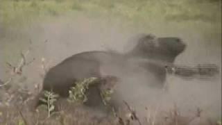 chasse à l'arc du buffle au Mozambique -part 2