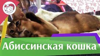 Абиссинская кошка на  Кэтсбург 17 ilikepet