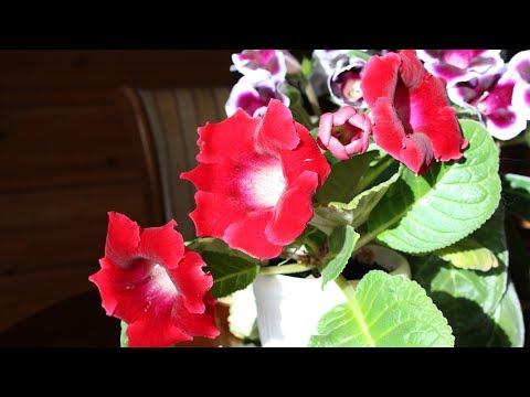 Почему не цветут комнатные глоксинии. Как выращивать глоксинии