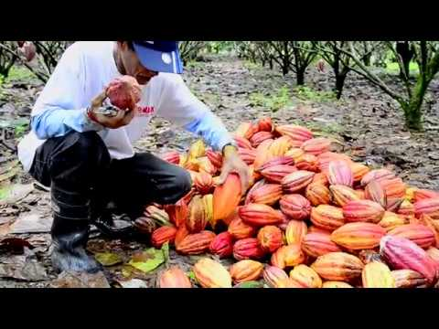 Kennemer Foods - Cacao growing new style