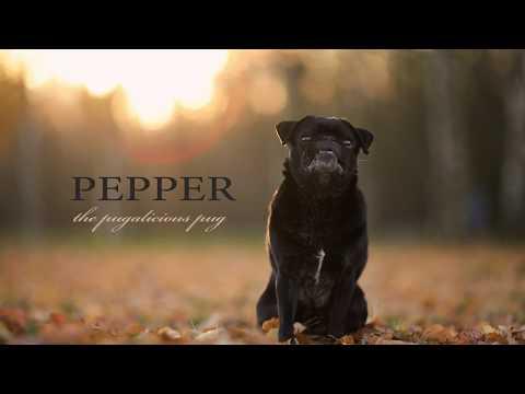 trick dog pug pepper