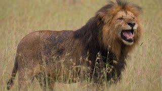 Lions & Hyena Standoff Kenya (New)