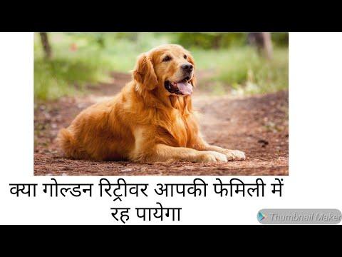 Check Purity of Golden Retriever || Golden Retriever Dog Facts in Hindi || Golden Retriever Price