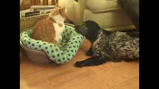 Blue Roan Cocker Spaniel Playing With Garfield The Cat Very Funny