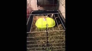 Guinea pigs having sex funny