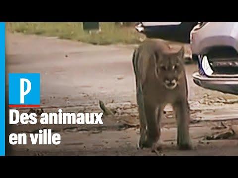 Cougar, chèvres, dauphin... ces animaux qui investissent les centres-villes durant le confinement