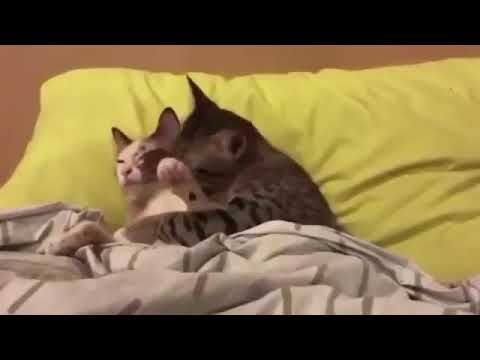 Funny Cats kissing in bed