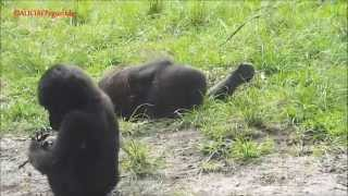 Cute Baby Gorillas Fighting ! Her Mom Separated Them Funny