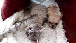 Сон собаки и кота (Коржик и Моська) Chihuahua