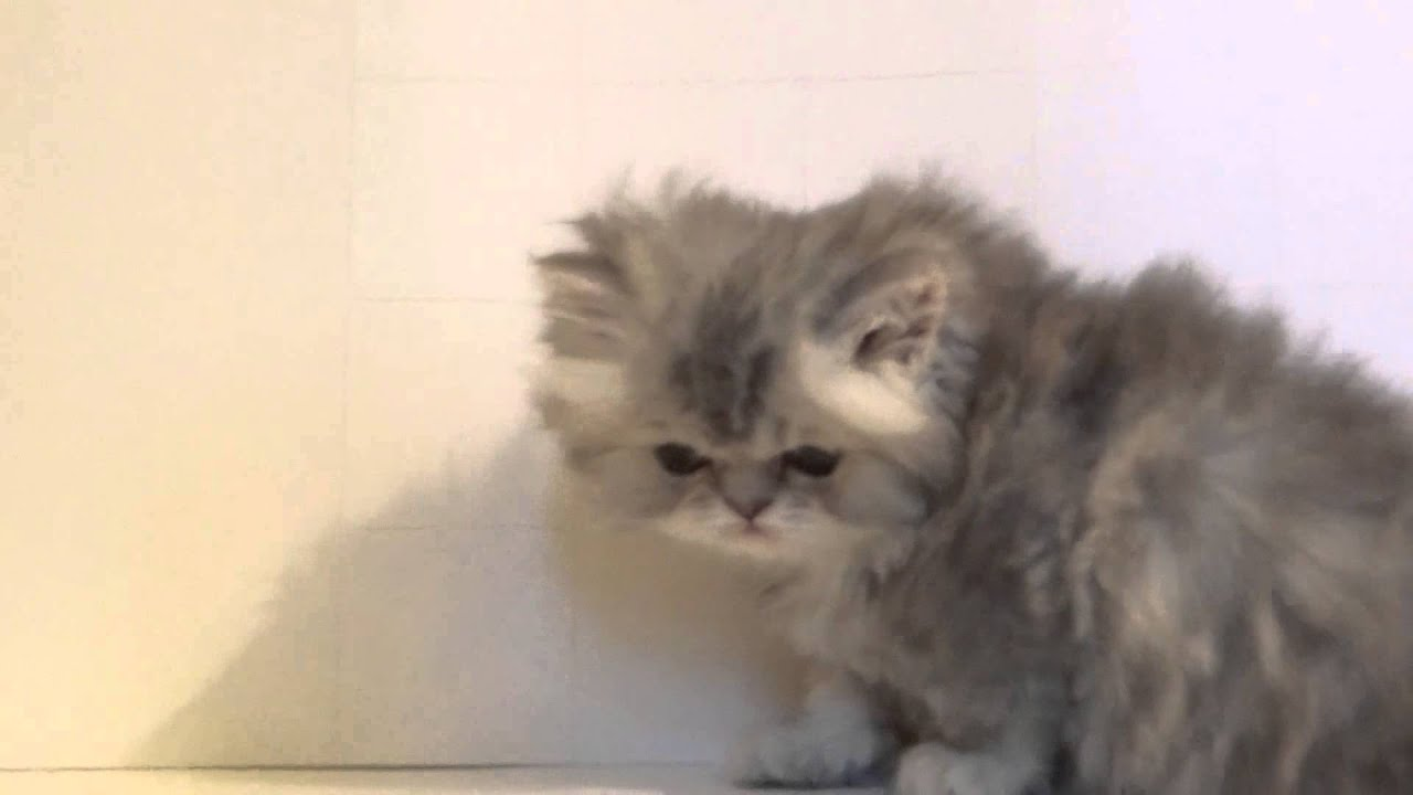 Добро пожаловать в самую большую и самую информативную группу о котах, персидской породы. В нашей группе вы найдете самые полезные советы.