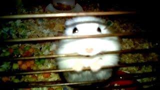 Biały Chomik Dżungarski Piłowanie Kraty w Klatce - Próba Ucieczki - Śmieszne Fajne Zwierzaki Domowe
