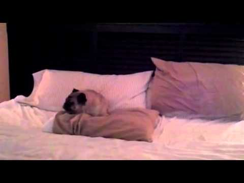 My Pug Getting Ready for Bed