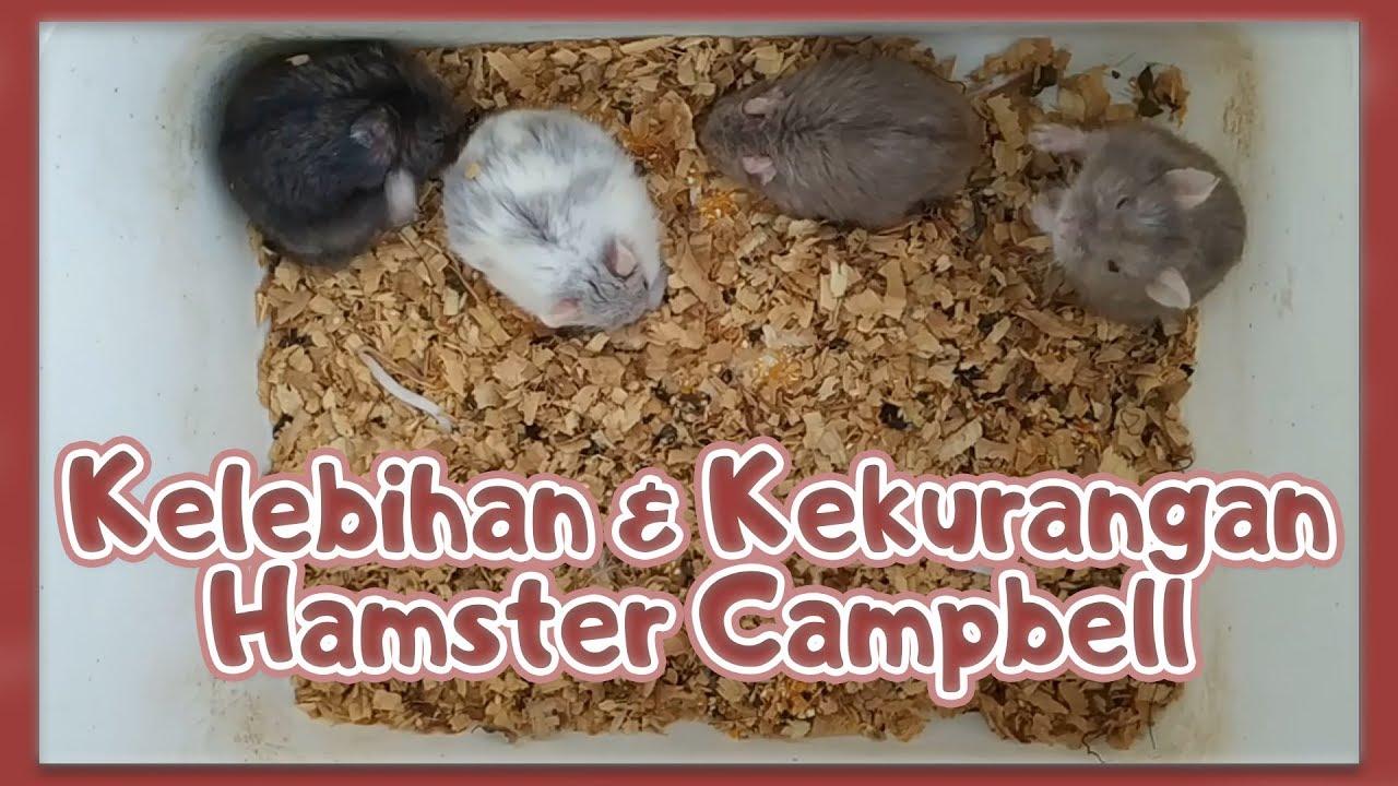 Kelebihan Dan Kekurangan Hamster Campbell Youtube