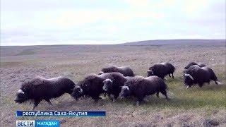 Овцебыков привезли на Завьялова из Якутии