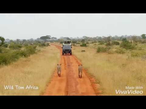 Lions walking in Tsavo East National Park Kenya