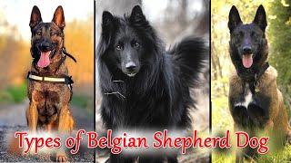 Different Types of Belgian Shepherd Dog II Types of Belgian Shepherd Dogs