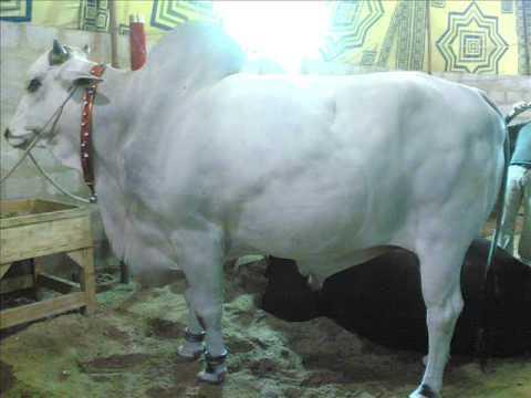 Cow Qurbani 2006 Pics AKD (Khurram Bhai) - YouTubeQurbani Cow 2009