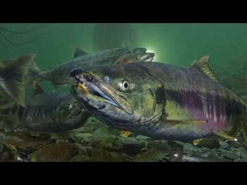 freshwater salmon snorkel