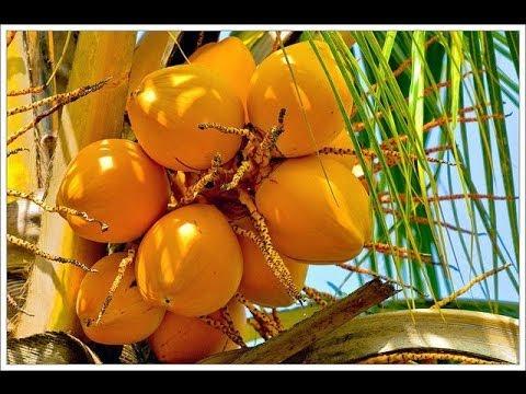 Сбор королевского кокоса Шри Ланка