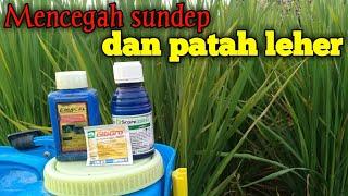 Download lagu Semprot padi pada fase bunting tua, fungisida score + emacel mencegah sundep dan patah leher