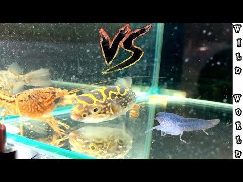 FIGURE 8  PUFFER FISH Vs CRAWFISH