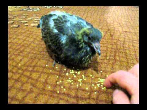 видео: Маленький голубь учится клевать пшено) // little pigeon learns to peck at the millet
