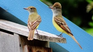 Great Crested Flycatcher Nest Box Documentary
