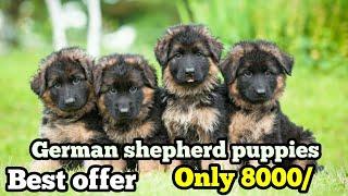 German shepherd puppy for sale | German shepherd for sale in 8000 only | Doggies tube
