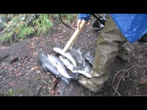 Dip Net Fishing Salmon Run Russian River Alaska
